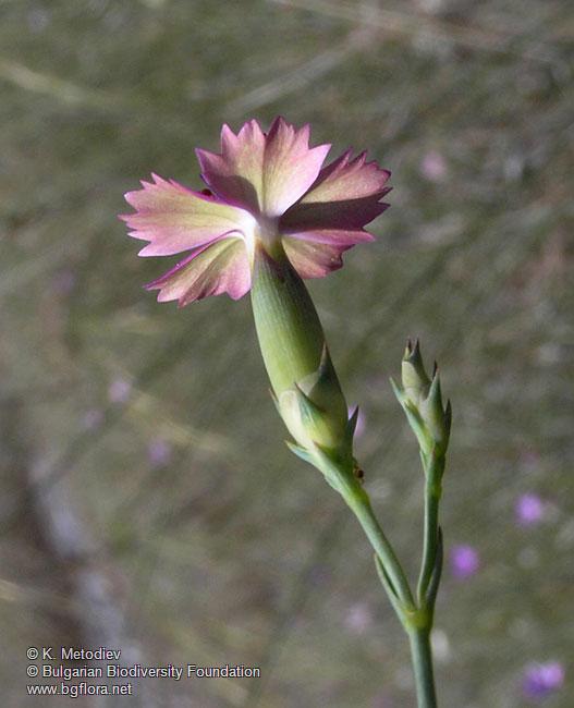 Dianthus Gracilis