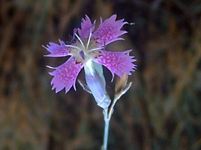 Dianthus Lusitanus