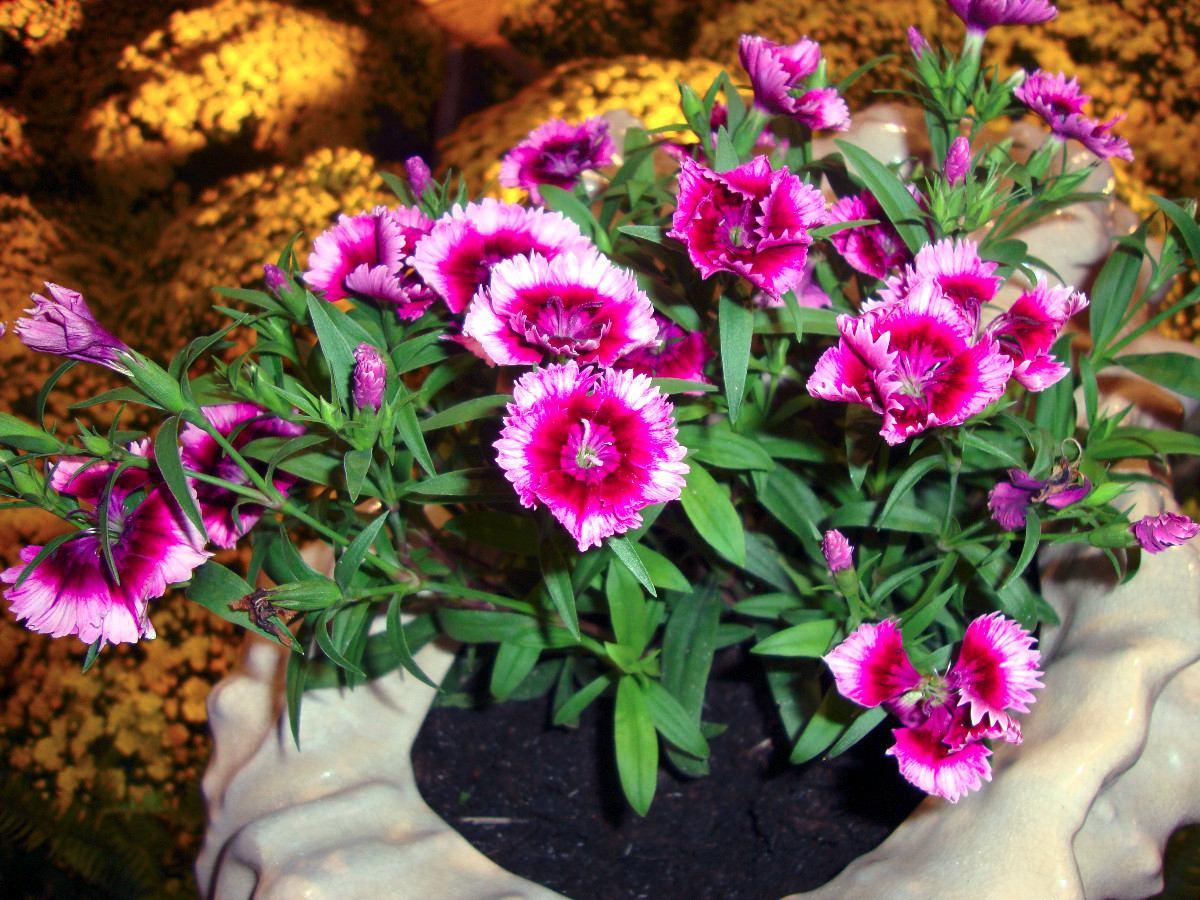 Flor Cravina no Vaso