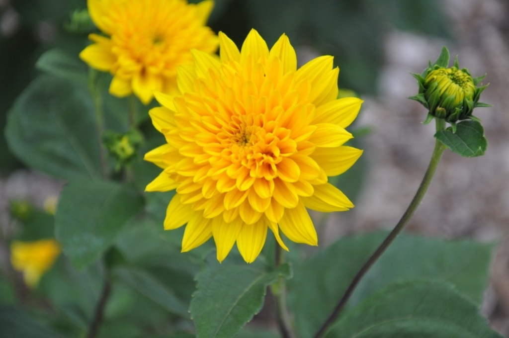 Helianthus Multiflorus