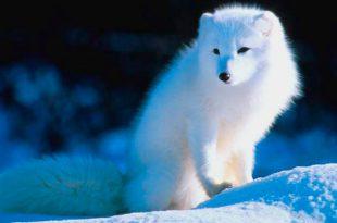 Raposa do Ártico Sentada na Neve