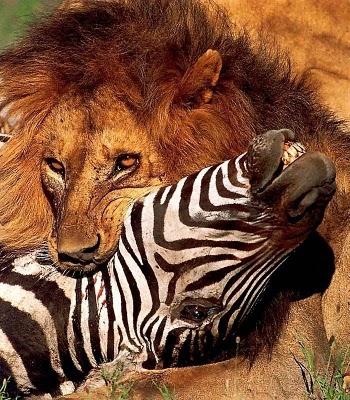 Leão Caçando Zebra