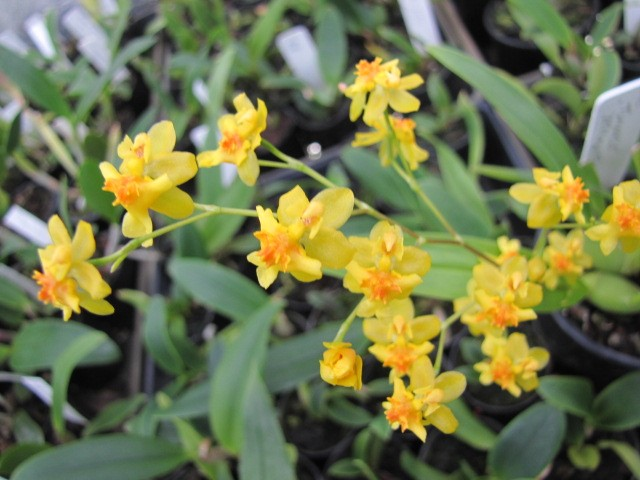 Oncidium Twinkle 'Yellow Fantasy'