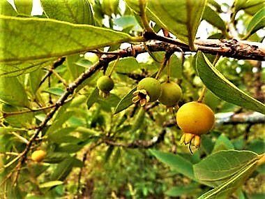 Psidium Anceps