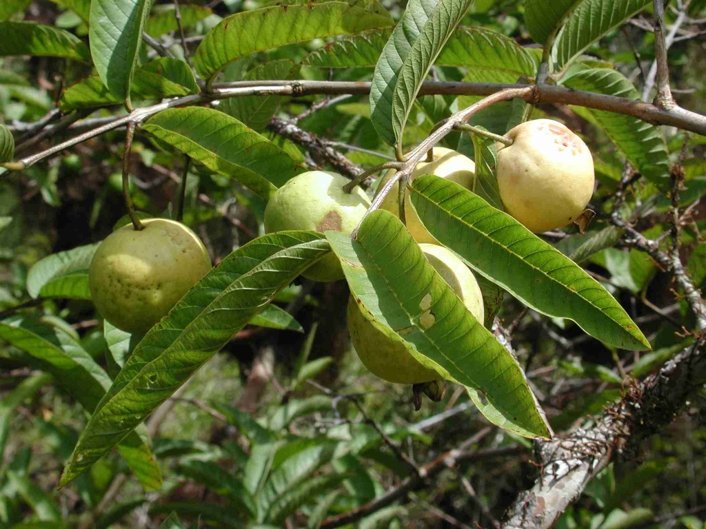 Psidium Anthomega