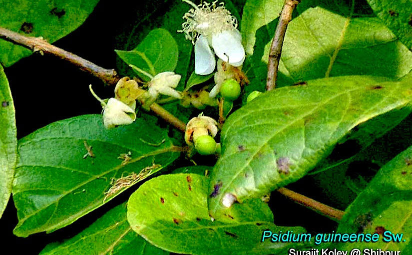 Psidium Multiflorum