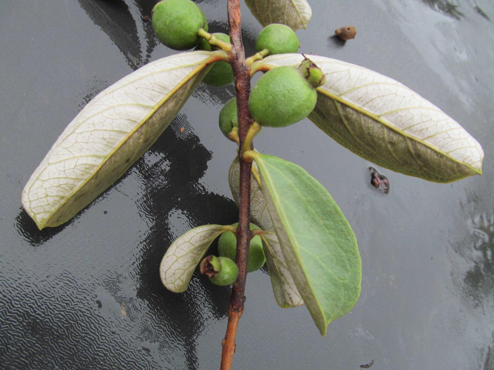 Psidium Rubescens
