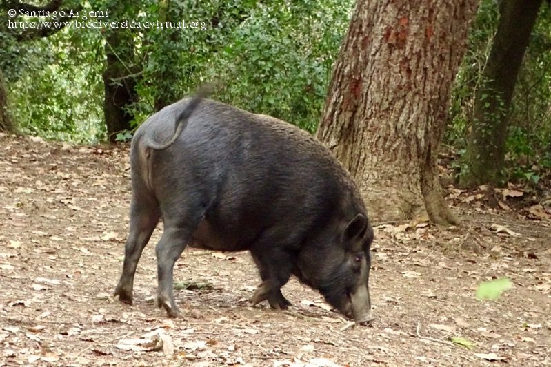 Sus Scrofa Ussuris