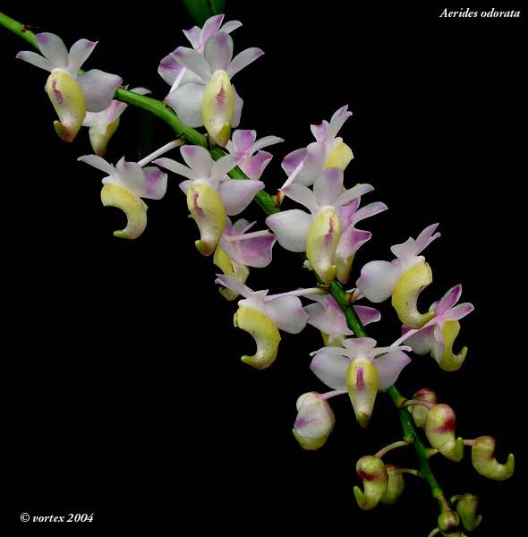 Aerides odoratum