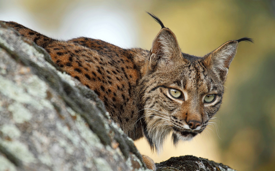 Lince Lince
