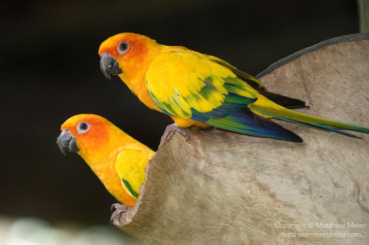 Casal de Jandaia Amarela