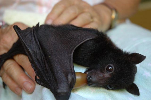 Filhote de Morcego Gigante Da Austrália