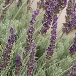 Lavandula Goodwin Creek