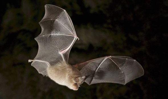 Morcego-de-Bechstein Voando no Escuro