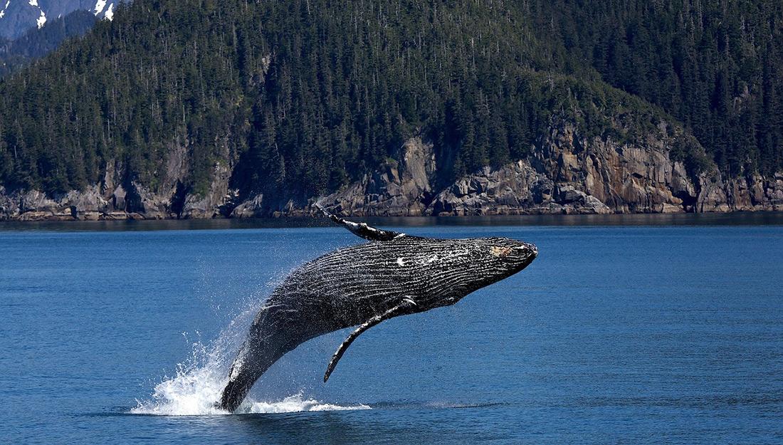 Baleia Cinzenta Saltando na Água