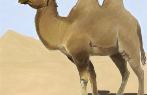 Estudo Sobre Camelo e Por Que Ele Consegue Viver no Deserto
