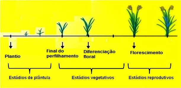 Características do Arroz (Oryza sativa)
