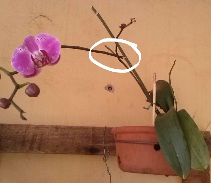 Haste da Orquídea