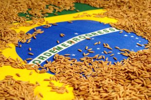 Ilustração da Chegada do Arroz no Brasil