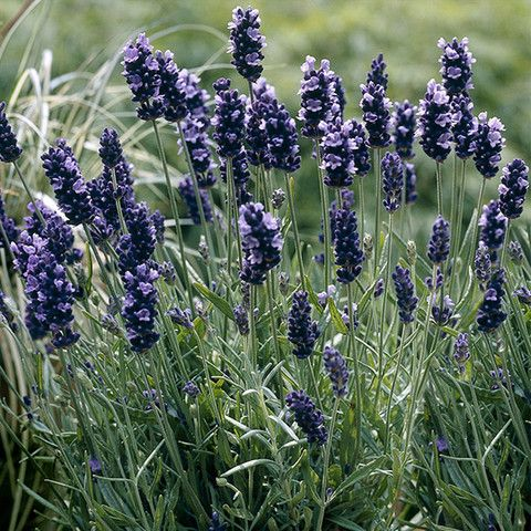 Lavanda 'SuperBlue'