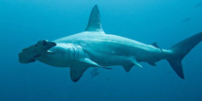 Tubarão Martelo Recortado: Sphyrna Lewini, Habitat e Tamanho
