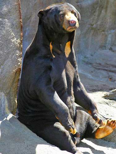 Urso Malaio Sentando em na Rocha