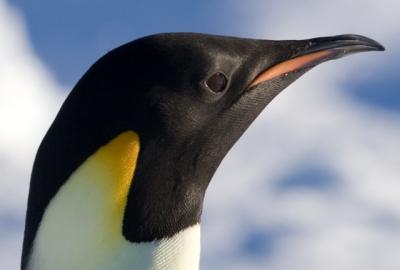 Pinguim Preto, Branco e Amarelo