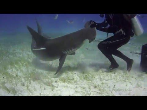Tubarão Martelo Panã, Fotografado ao Lado de um Mergulhador