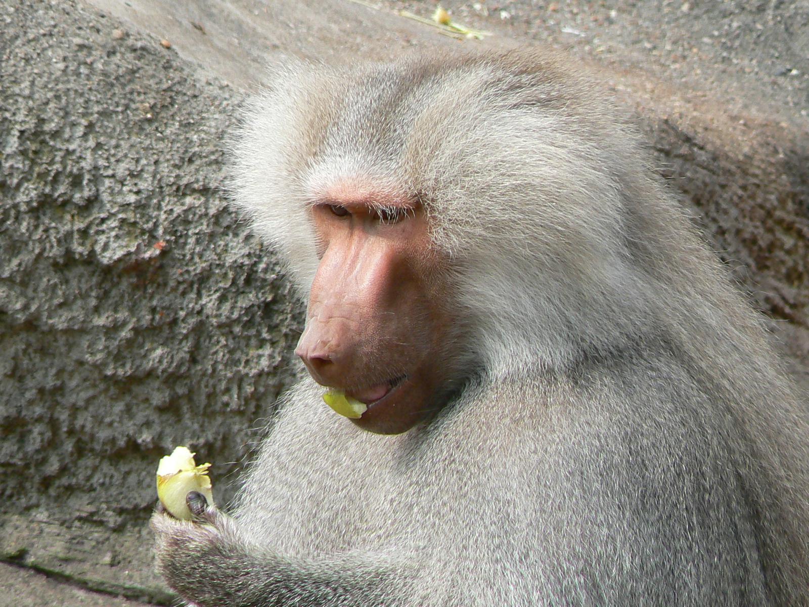 Babuíno Anúbis Comendo