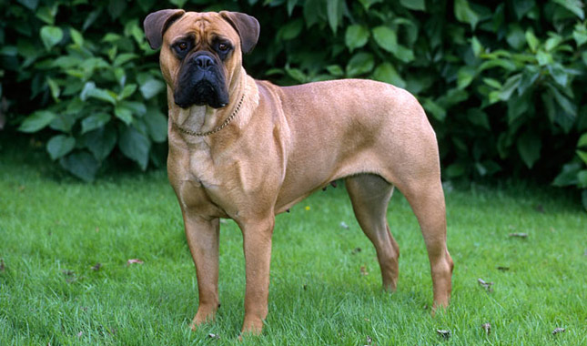 Bullmastiff Adulto