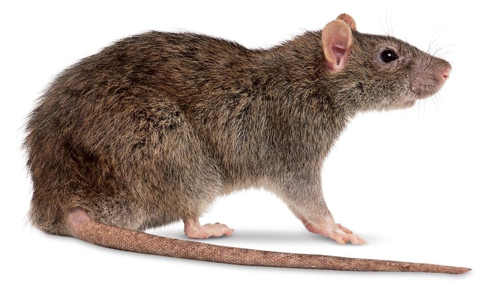 Características dos Ratos