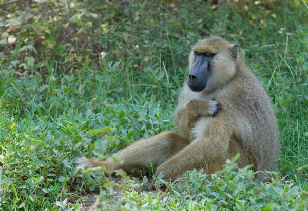 Classificação do Macaco