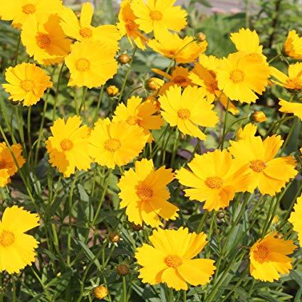Coreópsis Cultivada em Jardim
