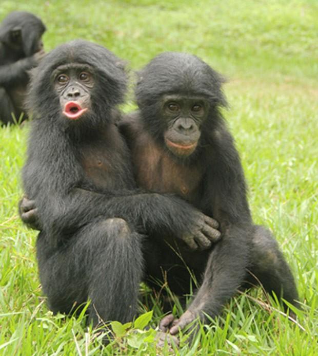 Dois Macacos Sendo Carinhosos