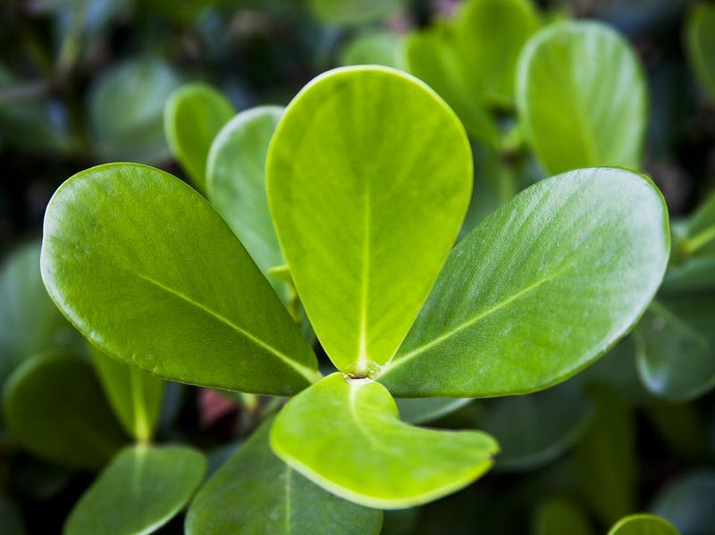 Folhas de Clusia