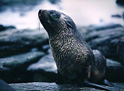 Lobo-Marinho-Antártico