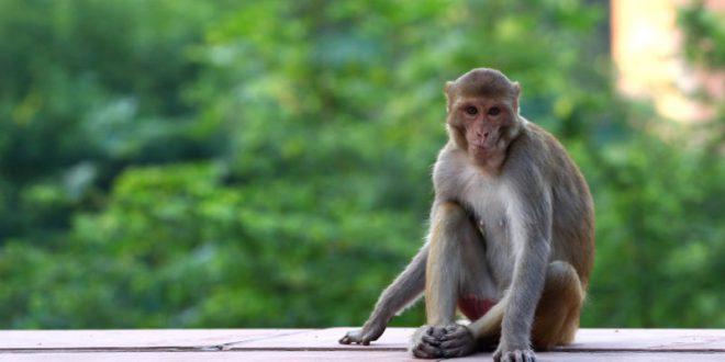 Ficha Técnica do Macaco: Peso, Altura, Tamanho e Imagens