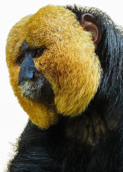 Macaco Saki