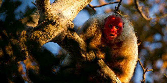 Macaco Uacari-Branco ou Uacari-Vermelho: Características