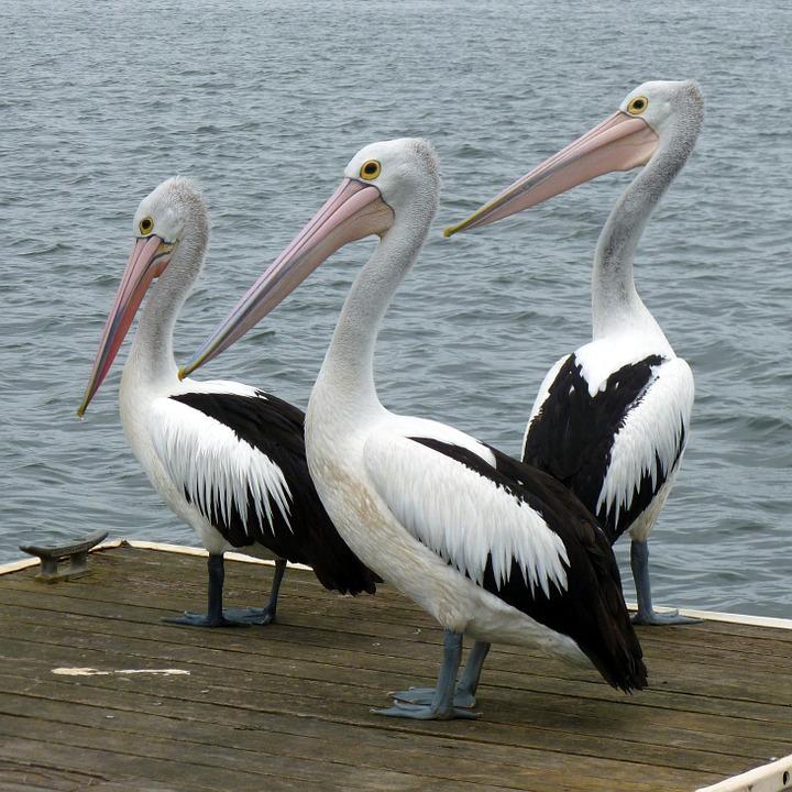 Pelicano-Australiano