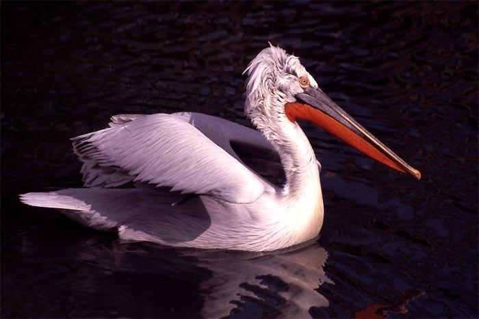 Pelicano Crespo