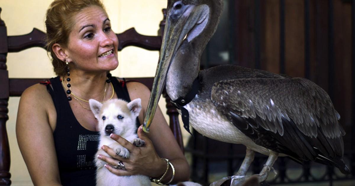 Pelicano Vira Animal de Estimação de Uma Família