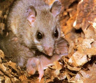 Rato Comendo Filhote
