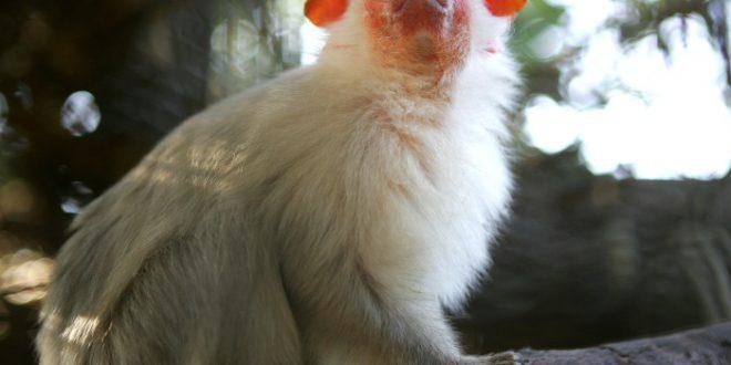 Sagui-Branco: Características, Nome Cientifico, Habitat e Fotos