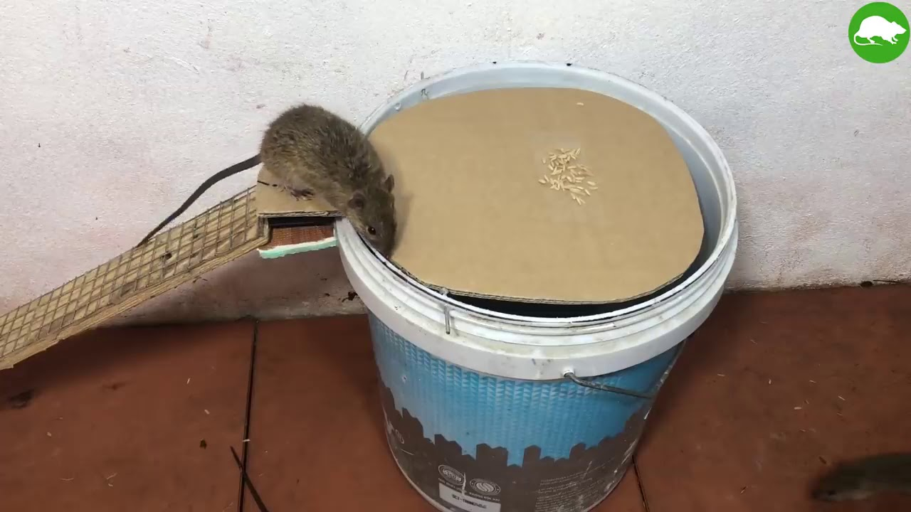 Armadilha do Balde para Ratos