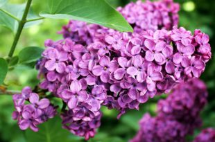 Asessippi Lilas