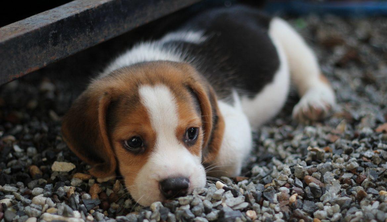 Beagle Deitado na Pedra