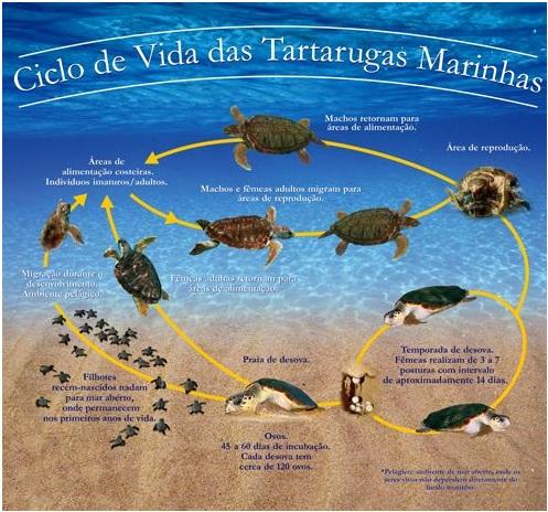 Ciclo de Vida das Tartarugas Marinhas