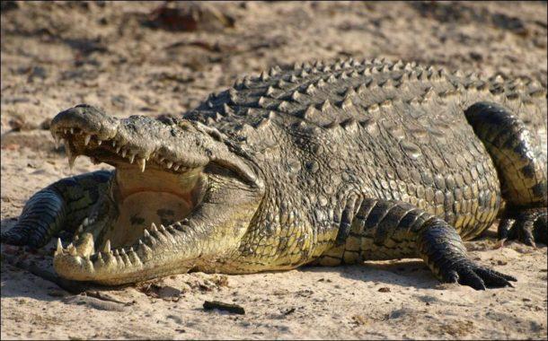 Crocodilo Com a Boca Aberta