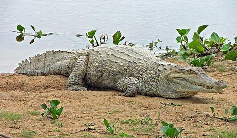 Crocodylus Intermedius